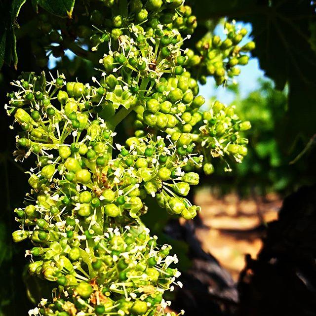 vigne en floraison